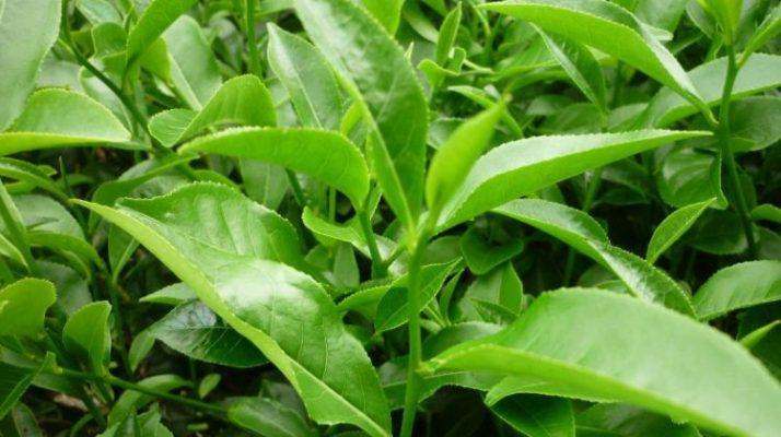 Tác dụng của lá trà xanh tươi- các loại trà tốt cho sức khỏe